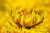 Yellow Flower in closeup