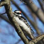 """Downy Woodpecker -8048"" by pixelcene"