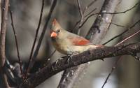 Female Cardinal xx-7749