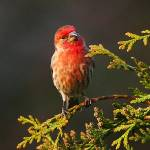 """Male House Finch 0902"" by pixelcene"