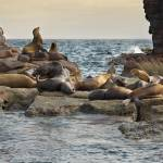 """SEA LIONS--LOS ISLOTES, SEA OF CORTEZ"" by pbk"