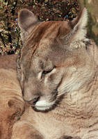 RW1456 Mountain Lion, Puma