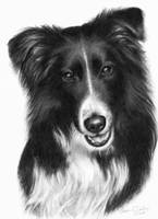 Memorial Portrait of Malcolm, Border Collie