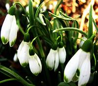 SNOWDROPS WELCOME MARCH