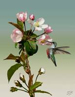 Hummingbird And Apple Tree Blossoms