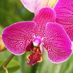 Fuchsia Moth Orchid