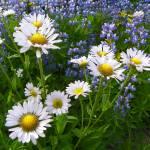 """Alpine Wildflowers"" by vpicks"