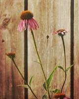 Coneflowers and Fence