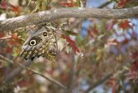 Owl Butterfly Hanging On