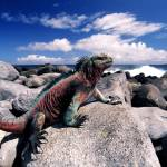 """Marine iguana green and red"" by johnmacdonald"