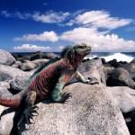 """Marine iguana green and red"" by johnmacdonald"