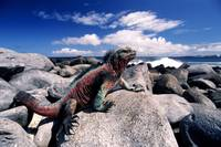 Marine iguana green and red