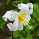 """Wildflower Fawn Lily"" by vpicks"