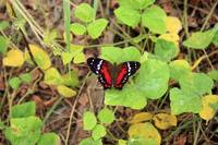 Red and Black Butterfly on a Leaf