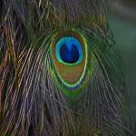 """Peacock Feathers"" by swaby"