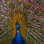 """Male Peacock"" by swaby"