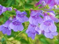 Botanical - Penstemon Speciosus - Outdoors Floral