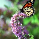 """""""Monarch Butterfly"""" by PadgettGallery"""