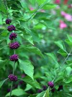 Purple Beautyberry - 'Early Amethyst'
