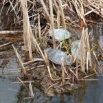 """Three Painted Turtles in a Marsh"" by rhamm"