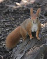 red squirrel on a rock