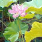 """Brilliant Lotus"" by KimStenbergFineArt"