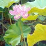 """Brilliant Lotus"" by KimStenbergFineArt"