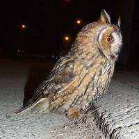 Long eared owl (Asio otus) DSCF1768