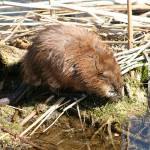 """Brown Muskrat in a Marsh"" by rhamm"
