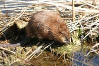 Brown Muskrat in a Marsh