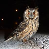 Long eared owl (Asio otus) DSCF1770