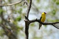 American Goldfinch Perched in aTree