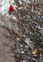 Cardinal Pair on Snowy Tree Branches