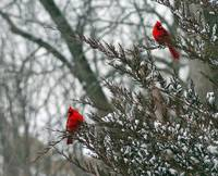 Cardinal Pair in Snowy Evergreen Tree