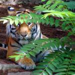 """Tiger Hiding"" by JMcQ"