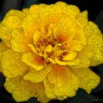 """French Marigold"" by AnimalsbyDiDi"