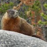 """A Marmot"" by samuelbiehl"