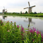 """Windmills at Kinderdijk with Wildflowers"" by Groecar"