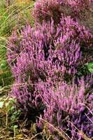 Dutch Heather