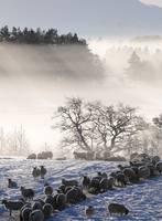 DSC_1971 Sheep in snow Grantown on Spey Scotland h