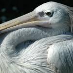 """""""Pelican"""" by kentsmudger"""
