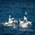 """Swans and other birds in Yalta near the embankment"" by crimea"