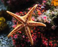 Sucker Starfish(Org)