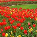 """Bright Spring Tulips P1130365"" by rayjacque"