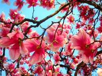THE HEART OF SPRING****SWEET MAGNOLIA!