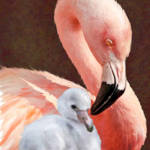 """Mother and baby flamingo"" by pietrastone"