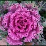"""Ornamental Kale"" by GiorgettaMcRee"