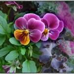 """Pansies"" by GiorgettaMcRee"