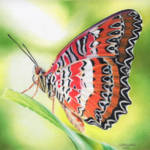 """Malay Lacewing"" by denisejhowardart"