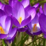 """""""Spring Crocus Flowers"""" by vpicks"""
